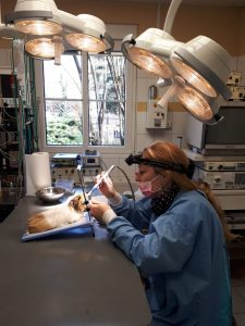 Zahnbehandlung bei Meerschweinchen